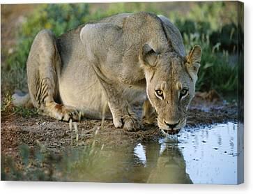 Lioness Drinking Canvas Print by Tony Camacho