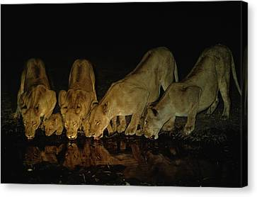 Lionesses And Cubs Drink Canvas Print by Beverly Joubert