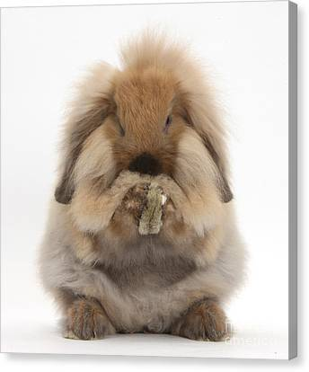 Lionhead X Lop Rabbit Grooming Canvas Print by Mark Taylor