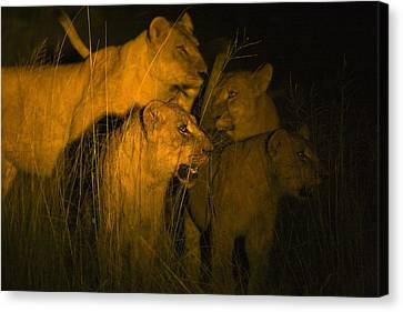 Lions At Night Canvas Print by Carson Ganci