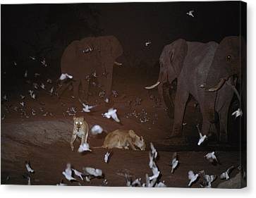 Lions, Doves, And Elephants Share Canvas Print by Beverly Joubert
