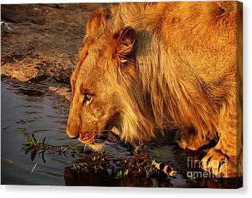 Lion's Pride Canvas Print by Andrew Paranavitana