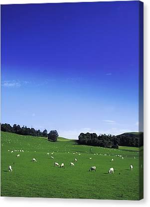 Lissard, Co Meath, Ireland Sheep Canvas Print