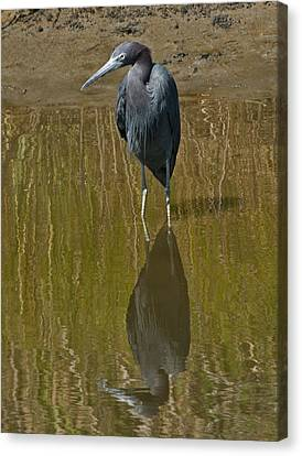Little Blue Heron Assateague Island Canvas Print by Lara Ellis