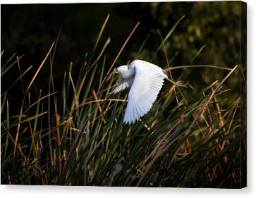 Little Blue Heron Before The Change To Blue Canvas Print by Steven Sparks