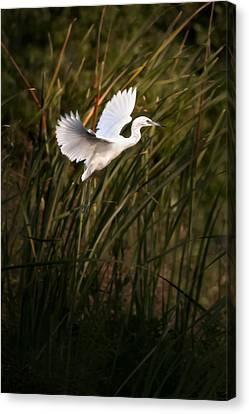 Little Blue Heron On Approach Canvas Print by Steven Sparks