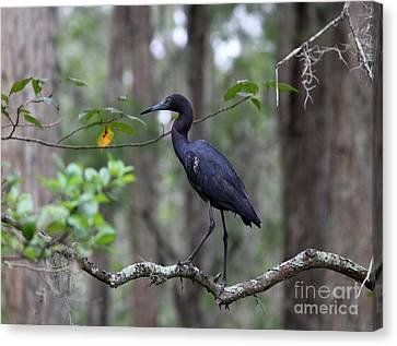 Little Blue Heron Canvas Print by Theresa Willingham
