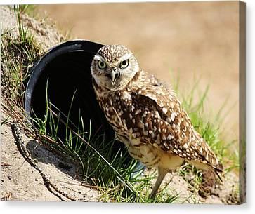 Little Burrowing Owl Canvas Print by Paulette Thomas