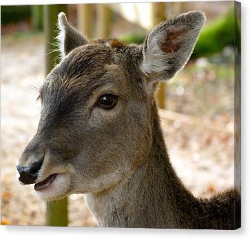 Little Deer Canvas Print by Karen Grist