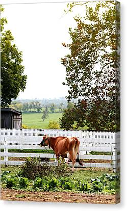 Little Jersey Cow Canvas Print by Stephanie Frey