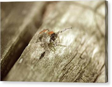 Canvas Print featuring the photograph Little Jumper In Sepia by JD Grimes