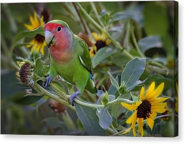 Little Lovebird Canvas Print