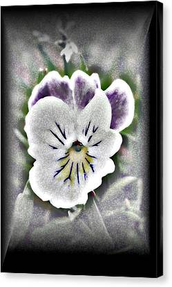 Little Pansy Canvas Print by Karen Harrison