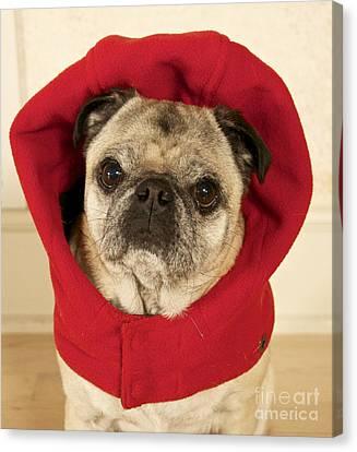 Little Red Riding Pug Canvas Print by Cindy Lee Longhini