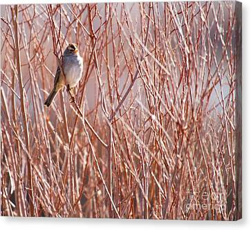 Little Sparrow Canvas Print by Sabrina L Ryan