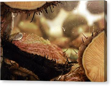 Live Abalone  The Shell Canvas Print