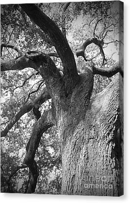 Live Oak Canvas Print by Waverley Manson