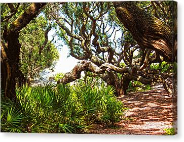 Canvas Print - Live Oaks by Tanya Chesnell