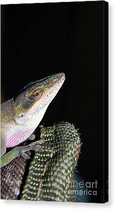Canvas Print featuring the photograph Lizard by Ester  Rogers