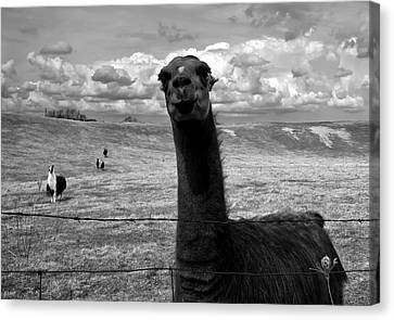 Llama Canvas Print by Cale Best