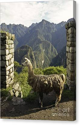 Llama On The Inca Trail Canvas Print by Darcy Michaelchuk