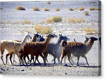Llamas  Atacama Desert Canvas Print by Sandra Lira