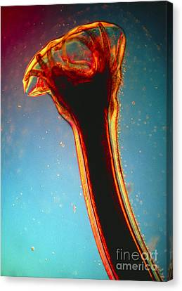 Lm Of Posterior End Of Hookworm Canvas Print by Eric Grave