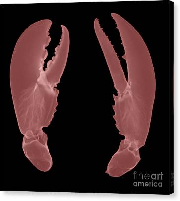 Lobster Claws X-ray Canvas Print by Ted Kinsman
