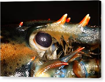 Lobster Eye Canvas Print by Ted Kinsman