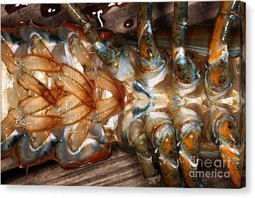Lobster Female Sex Organs Canvas Print by Ted Kinsman