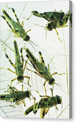 Locusts Canvas Print by David Aubrey