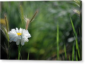 Canvas Print featuring the photograph Lone Daisy by Amee Cave