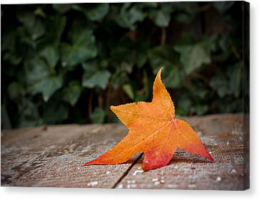 Lone Leaf Canvas Print
