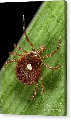 Lone Star Tick Female Canvas Print by Science Source