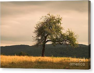 Lonely Tree Canvas Print by Odon Czintos