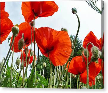 Lonely Withering Poppies Canvas Print