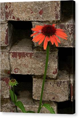 Lonely Zinnia On Wall Canvas Print by Sandra Anderson