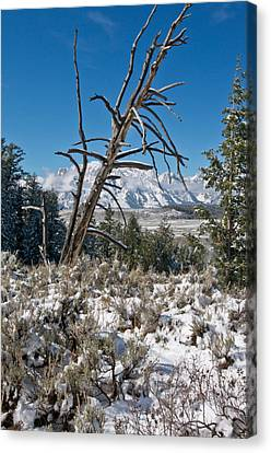 Lonesome Pine Canvas Print by Jay Seeley