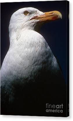 Long Island Seagull Canvas Print by Mark Gilman