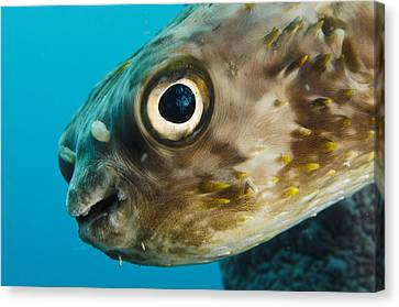 Long-spine Porcupinefish Diodon Canvas Print by Pete Oxford