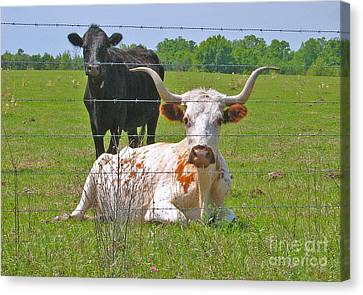 Canvas Print featuring the photograph Longhorn Resting by Val Miller