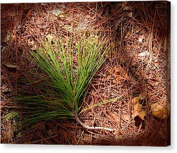 Longleaf Pine Needles Canvas Print by John Myers