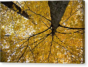 Look Up It Is Fall Canvas Print by John Crothers