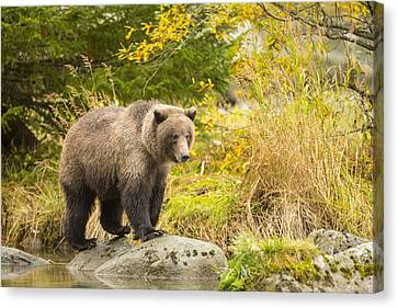 Prints Of Alaska Canvas Print - Looking For A Meal In The Autumn by Tim Grams