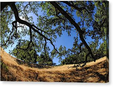 Looking Through The Oaks Canvas Print by Donna Blackhall