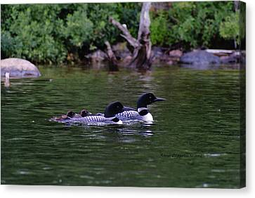 Canvas Print featuring the photograph Loons With Twins 2 by Steven Clipperton