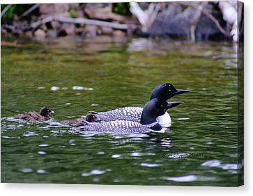 Canvas Print featuring the photograph Loons With Twins 3 by Steven Clipperton