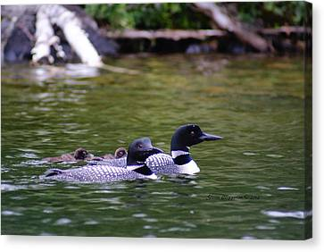 Canvas Print featuring the photograph Loons With Twins 4 by Steven Clipperton