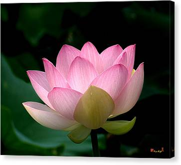 Lotus Beauty--blushing Dl003 Canvas Print by Gerry Gantt