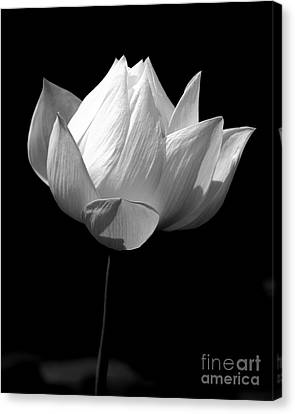 Lotus Bw Canvas Print by Mark Gilman